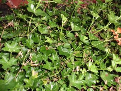 Pelargonien überwintern und zurückschneiden